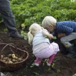 Børn samler kartofler